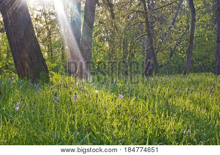 Blue camas flowers in a meadow with sun rays of brilliant white light