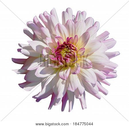 Beautiful tender white pink dahlia. Isolated on white background