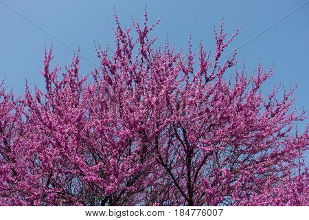Flowering branches of Cercis canadensis against the sky