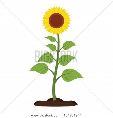 Sunflower with green leaves on white background. Vector illustration