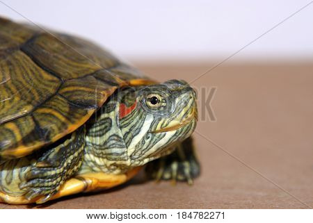 Portrait of small semi-aquatic Reeves turtle, indonesia