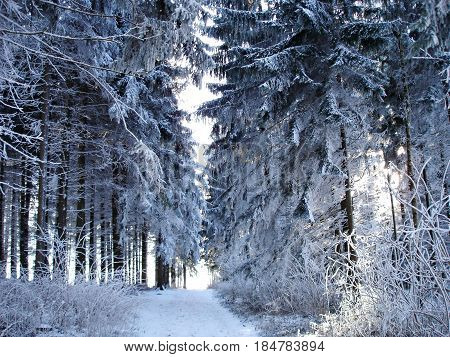 A forest road through a snowy spruce forest
