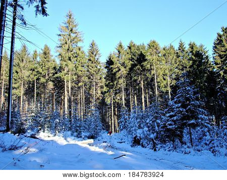 sunny day in winter snowy spruces blue sky