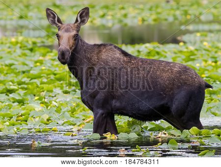 The Shiras moose cow in Colorado is the smallest of the moose species in North America.