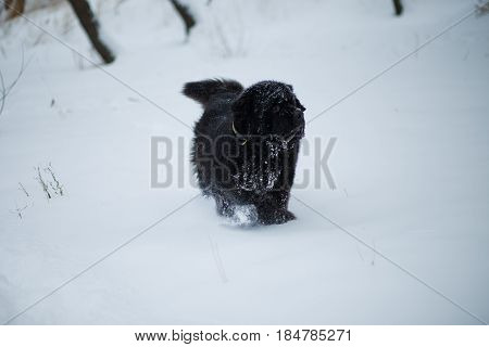 Newfoundland stands in deep snow. Dog on winter walk. Pedigreed dog walks in winter on nature in snow. Healthy pet for walk. Dog has nose in snow.