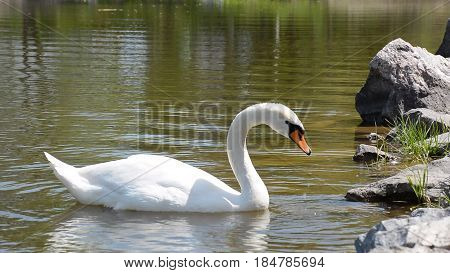 White swan swimming and eating near the bank of the river