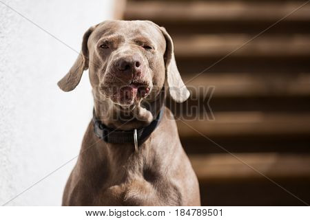 Grimace on the muzzle of the Weimaraner dog against the wooden background poster