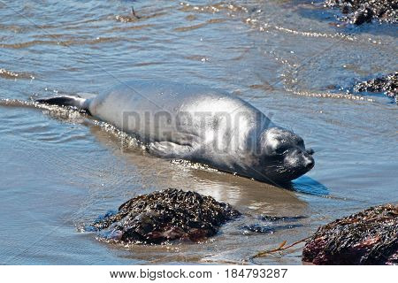 Baby Northern Elephant Seal at Piedras Blancas Elephant Seal colony on the Central Coast of California United States of America