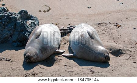 Two Northern Elephant Seals at the Piedras Blancas Elephant Seal colony on the Central Coast of California USA