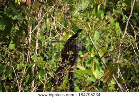 Panama Howler Monkey in tree getting food