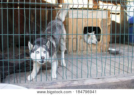 Dog with blue eyes in the street open-air cage.