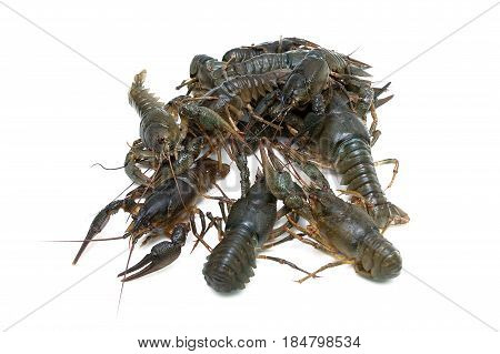 Crayfish isolated on white background close-up. Horizontal photo.