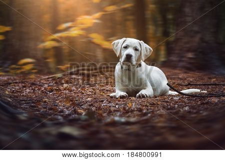 young cute white labrador retriever dog puppy lies on the ground of the dark magical forest
