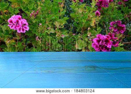 Turquoise blue wooden background under bush with many pink flowers and green leaves
