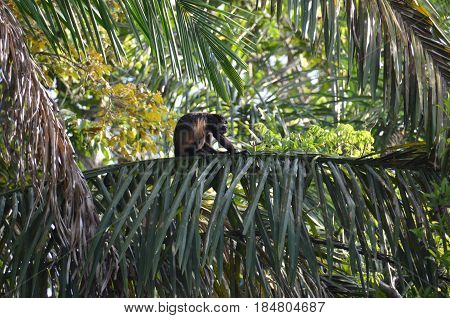 Panama howler female monkey in sitting treetop