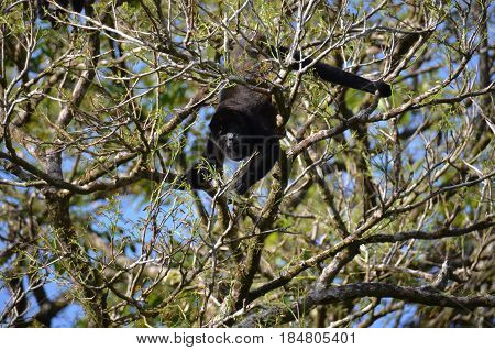 Panama Male Howler monkey hanging in treetop