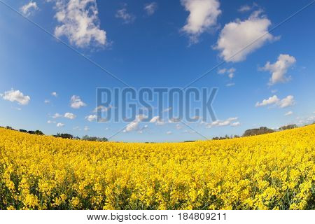 yellow canola field and blue sky during sunny day