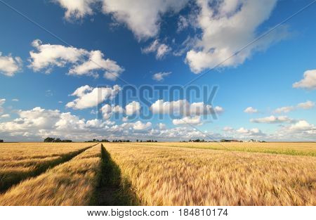 wheat field and blue sky on sunny summer day