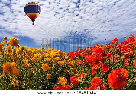 The huge multi-color balloon slowly flies in clouds. The  blossoming fields of red and yellow garden buttercups. Concept of rural and extreme tourism