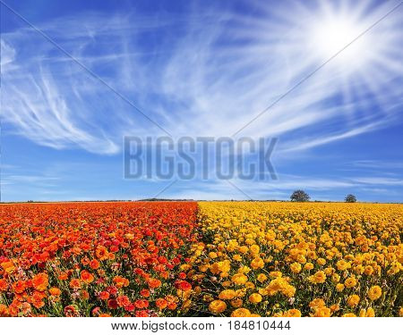 Concept of rural and recreational tourism. The bright southern sun illuminates the fields of red garden buttercups- ranunculus. Wind drives the cirrus clouds