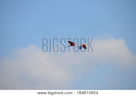A pair of Scarlet Macaw's flying across a blue sky