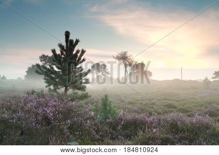 misty sunrise and flowering heather in summer