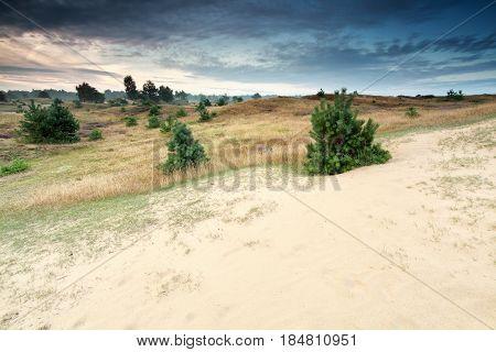 little pine trees growing on dunes Drenthe Netherlands