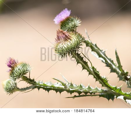 A prickly plant in nature . A photo