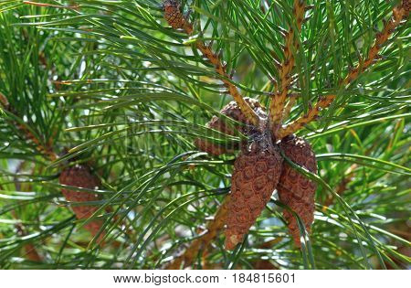 green tree nature pine kidney branches summer branch food spider outdoors fruit flora needle autumn plant wood cone flower  leaves forest leaf spring