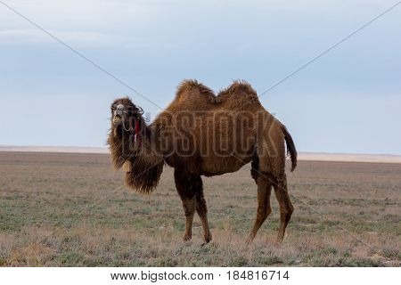 Two-humped camel in the background of  the Kazakhstan dry steppe