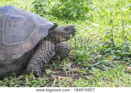 Giant Santa Cruz Tortoise Eating Grass in the Highlands, Galapagos Ecuador