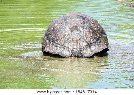 Giant Santa Cruz Tortoise Sitting in a Pond in the Highlands, Galapagos Ecuador