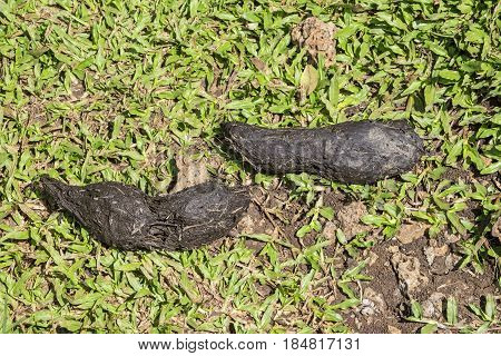 Two Giant Tortoise Droppings on the Grass