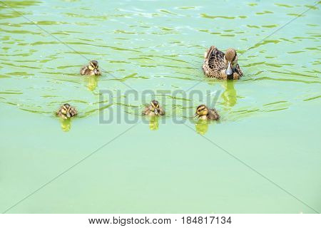 White-cheeked Pintail Duck and Baby Ducks Swimming in a Pond
