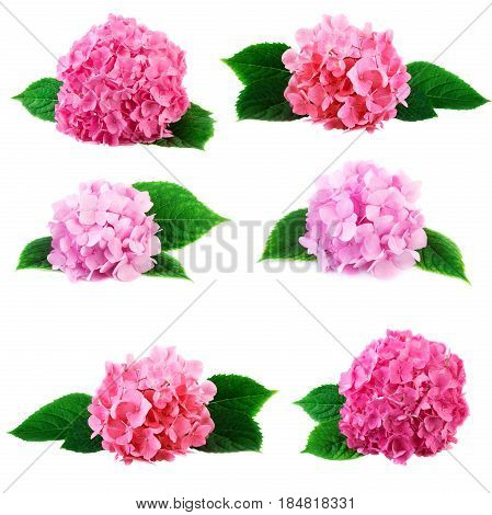Hydrangea collection hortensia flowers isolated on white background