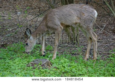 Deer grazing in forested area of city park at Boise, Idaho.