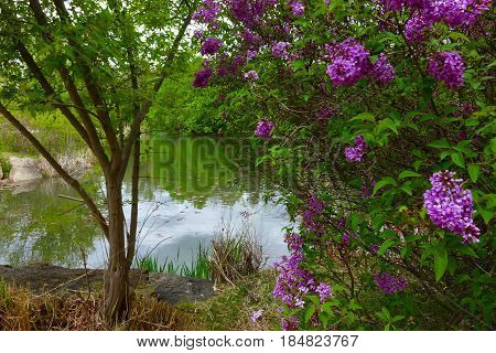 Lilacs add purple color and fragrance to the Spring air at a Boise city park in Idaho.