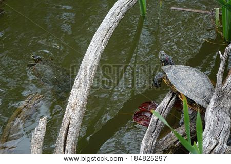 Red-eared-slider Turtles in a city park at Boise, Idaho.