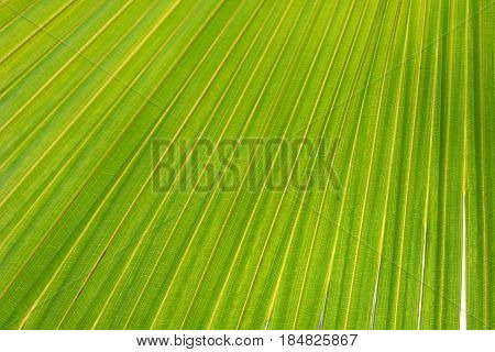 Close view on under the Arecaceae leaf. Shade perfest for leisure and rest. Palm leaf