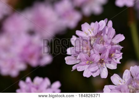Phlox subulata, the small, five-petaled flowers bloom in rose, mauve, blue, white, or pink in late spring to early summer.