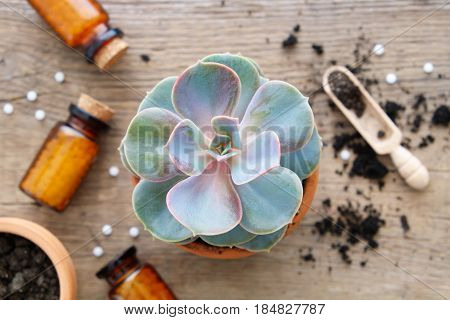 Echeveria In Flowerpot And Homeopathic Remedies For Plant And Crops. Focus On Echeveria Flower. Natu