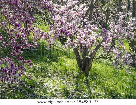 Beautiful Grassy Spot Under Blossoming Magnolia Trees In Springtime, Sunlight Dappling
