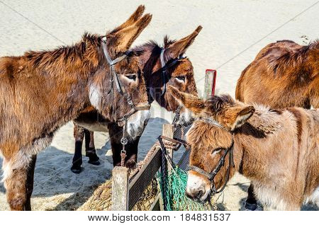 gorgeous domesticated asses asses in a harness strapped to a wooden beam hot day