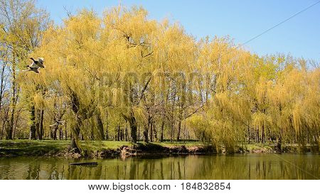 Wild ducks sitting on the wooden pontoon in the lake and then flying away. Weeping willows on the riverside.