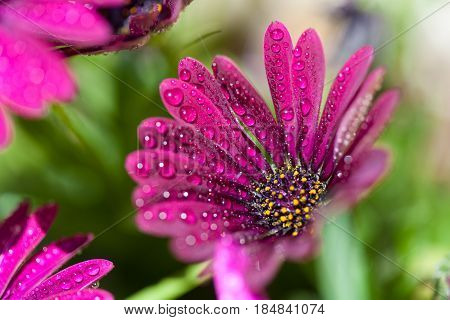 Violet Osteospermum marco with drops on sun light