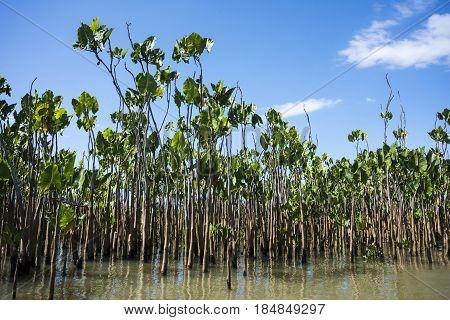 Water Plants On The Parnaiba River, Brazil's Northeast Region