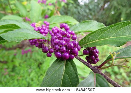 Callicarpa japonica East Asian  Japanese Beautyberry pink purple berry fruits