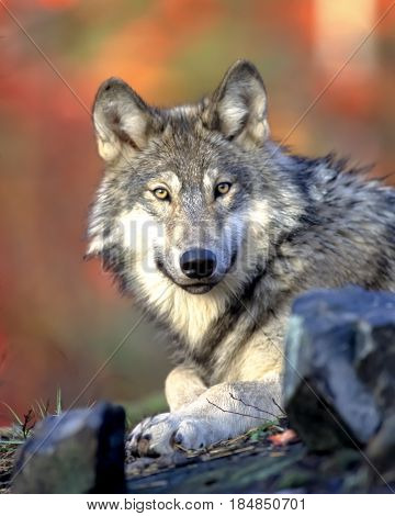 Grey Wolf Sit On A Ground