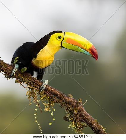 Toucan perched on a tree branch in Costa Rica