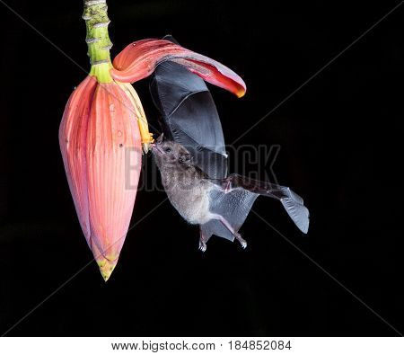 Bat in flight feeding on a flower in costa rica